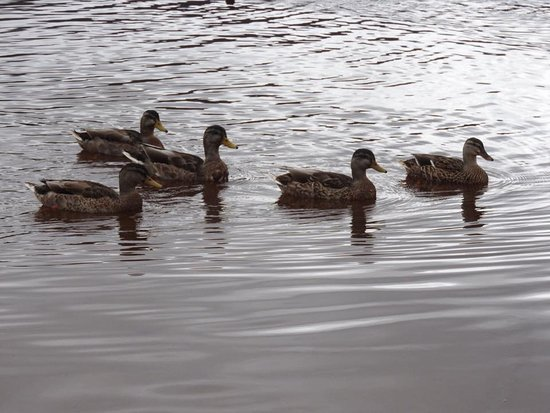 Aviemore, UK: ducks having a swim