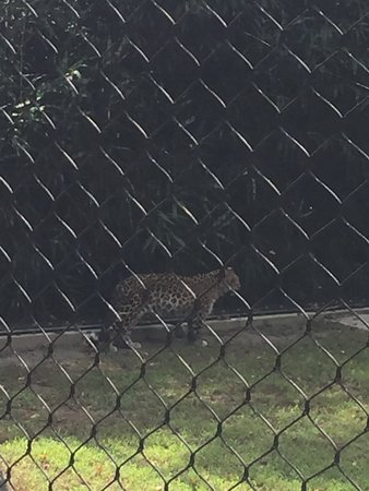 Cape May Court House, NJ: Leopard strutting her stuff.