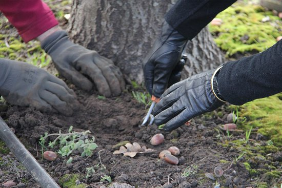 Barrington, Australia: Truffle excavation.