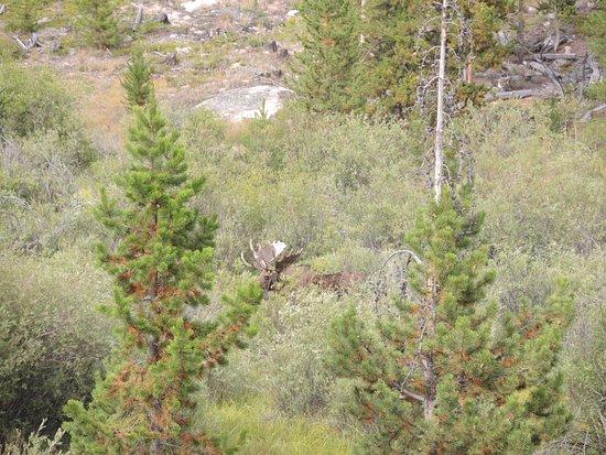 Bull Moose outside Grand Lake