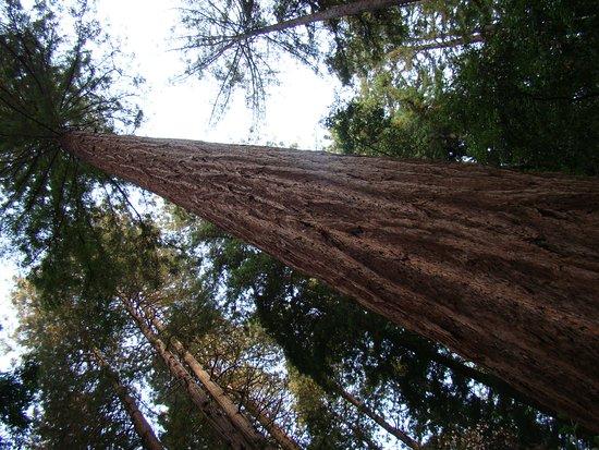 Mill Valley, Californië: 400 foot tall 400 year old wonder!