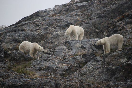 Longyearbyen, Noruega: Polar bear meeting.