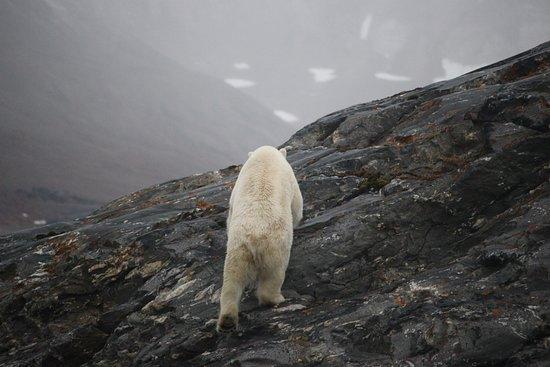 Longyearbyen, Noruega: Polar bear - look at the tail!