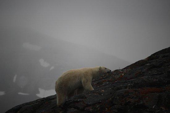 Longyearbyen, Noruega: Polar bear