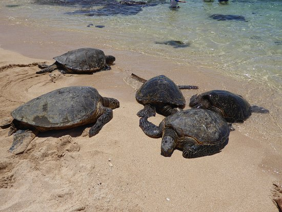 Paia, HI: Sea Turtles