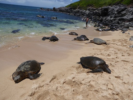 Paia, Hawaï: Sea Turtles on the Beach