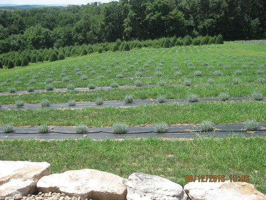 Pottsville, Pensilvania: Lavender plants.