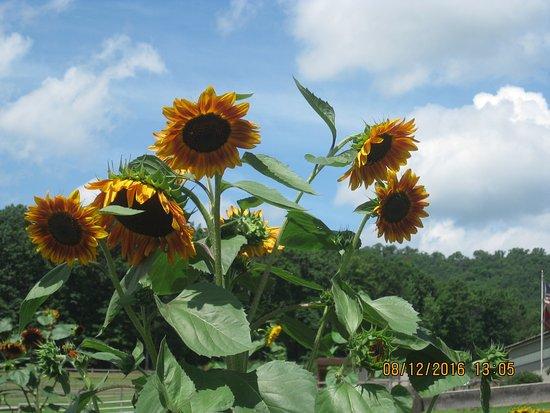 Pottsville, Pensilvania: Pretty sunflowers.