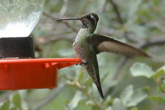Sierra Vista, AZ: Hummingbird