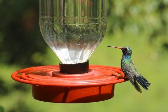 Sierra Vista, AZ: Broadbilled Hummingbird