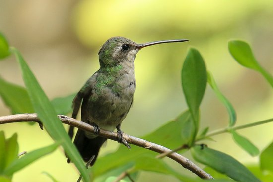 Sierra Vista, AZ: Female Hummingbird