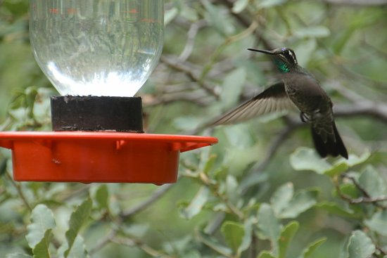Beatty's Miller Canyon Apiary & Orchard: White Eared Hummingbird