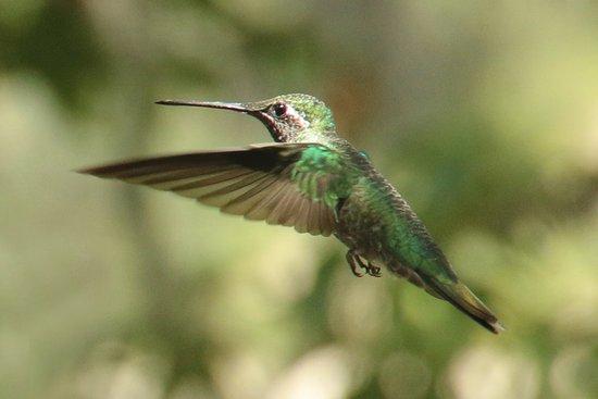 Beatty's Miller Canyon Apiary & Orchard: Hummingbird in flight