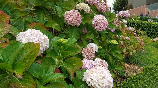 One of the many hydrangeas flowerbeds that lined the street