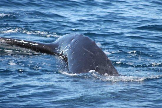 Main Beach, Australien: whale about to dive