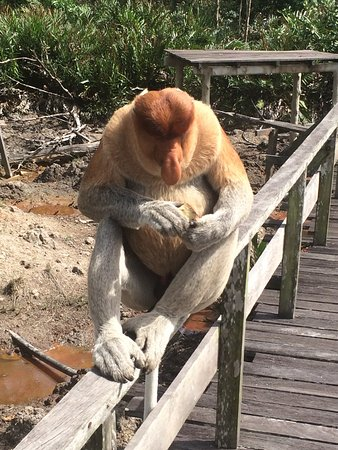 All Borneo Connection - Day Tours : Up close with a proboscis monkey