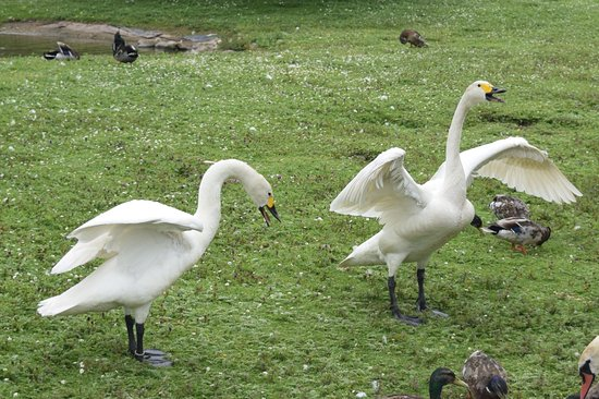 Slimbridge, UK: swans