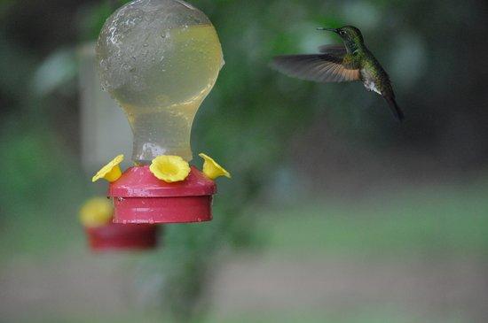 Santa Elena, Costa Rica: Hummingbird...