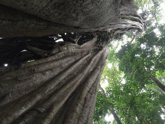 Santa Elena, Costa Rica: Spectacular trees...