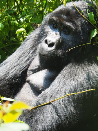 Abacus African Vacations Day Tours : Up VERY close with the gorillas. Amazing experience.