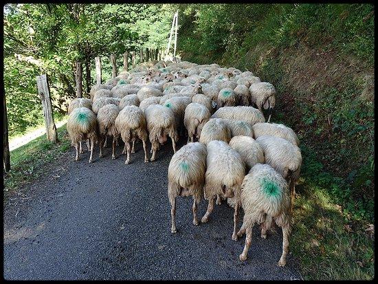 Itxassou, Frankrike: moutonstoppeurs.......