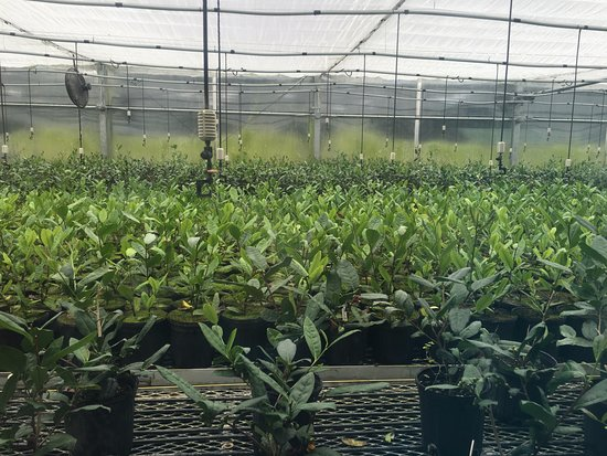 Wadmalaw Island, SC: Baby tea plants in the green house.