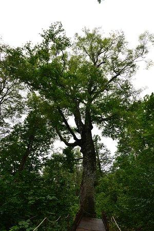 Tohoku, Jepang: マザーツリーは樹齢400年