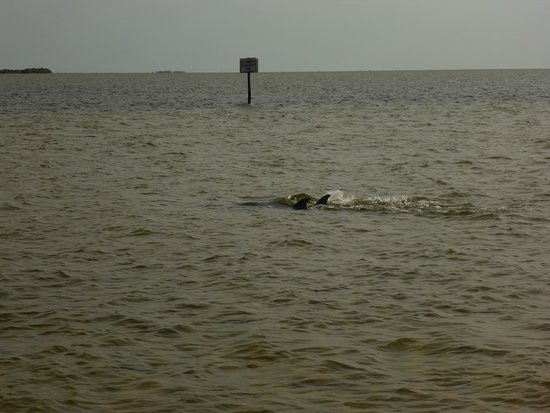 Spring Hill, FL: Dolphins swimming close to the beach