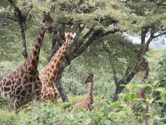 Фотография African Fund for Endangered Wildlife (Kenya) Ltd. - Giraffe Centre