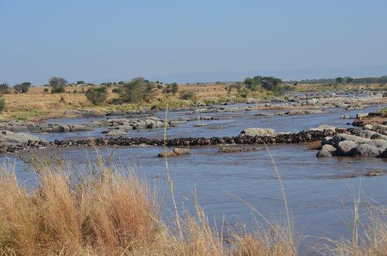 Sayari Camp, Asilia Africa: Wildebeest crossing the Mara River-2