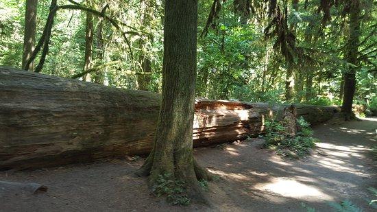 Port Alberni, Canada: large trees