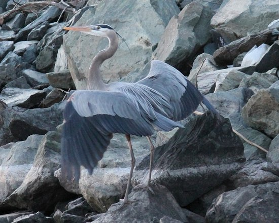 Triangle Boat Tours: Great Blue Heron