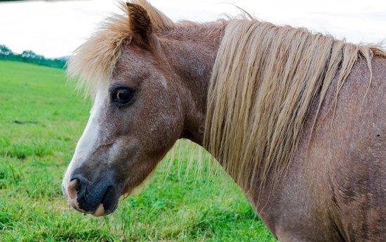 East Earl, PA: mini horse