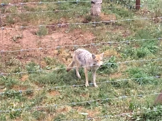 Divide, CO: Coyotes - 1 of 2.