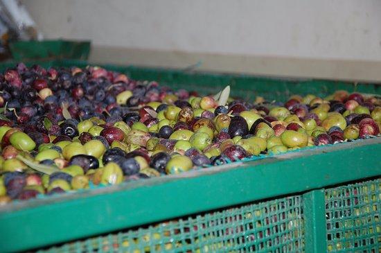 Maipu, Argentina: Azeitonas para a prensa