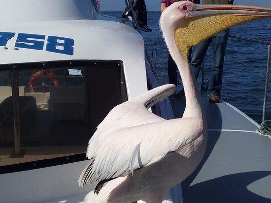 Walvis Bay, Namibia: pelicano1