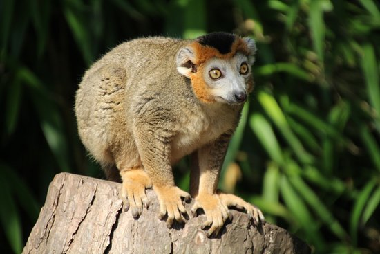 Alphen aan den Rijn, Pays-Bas : Crowned lemur.