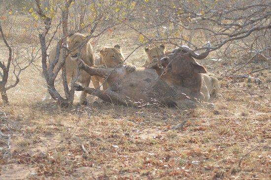 Shindzela Tented Safari Camp: Lion kill