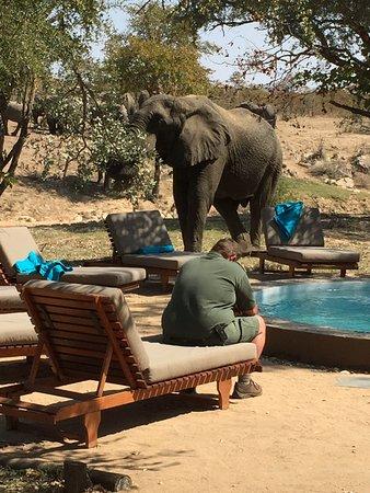 Shindzela Tented Safari Camp: Visite d'éléphant au camp !