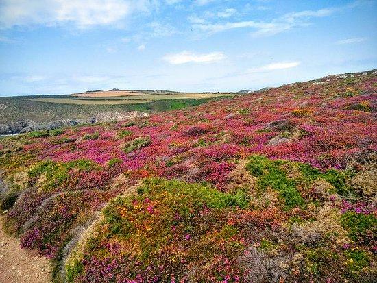 St. Davids, UK: Colourful heather.