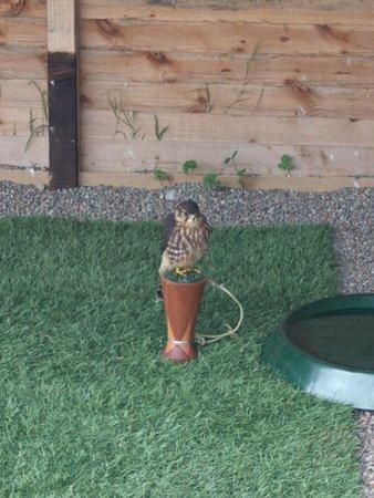 Ravenglass, UK: More birds of prey