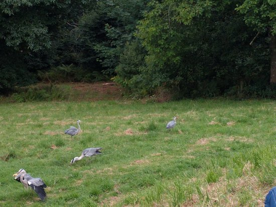 Ravenglass, UK: Wild Heron Feeding