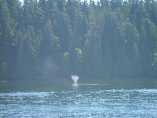Lady Rose Marine Services: Humpback whales, Bamfield BC