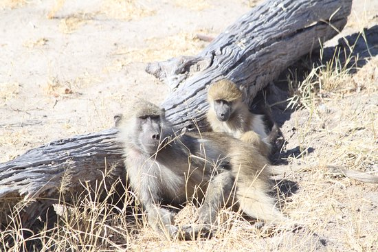 Hwange National Park, ซิมบับเว: Baboon mommy and baby chilling by a log