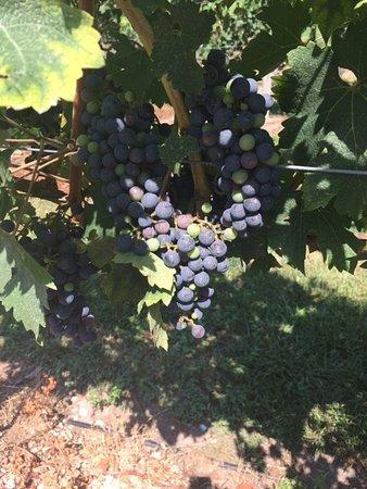 Cape May Winery: Cape May Vineyard