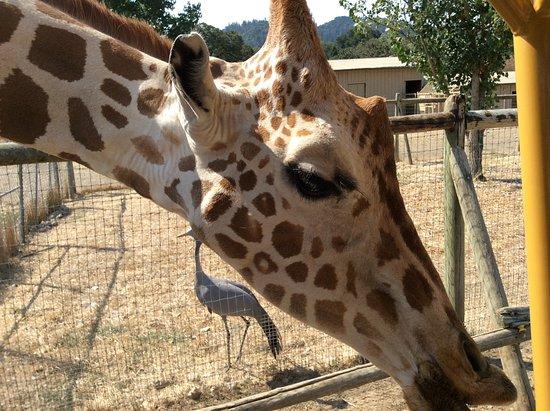 Safari West: Kiss if the giraffe