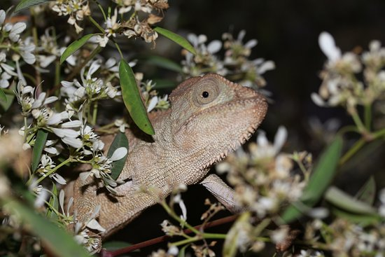 Hotel Manoir Rouge : First chameleon in grounds
