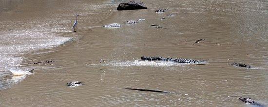 Cahills Crossing: Crocodiles & egret & jumping fish
