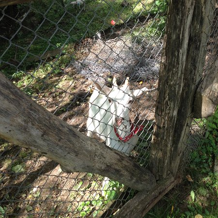 Danes, رومانيا: Goat