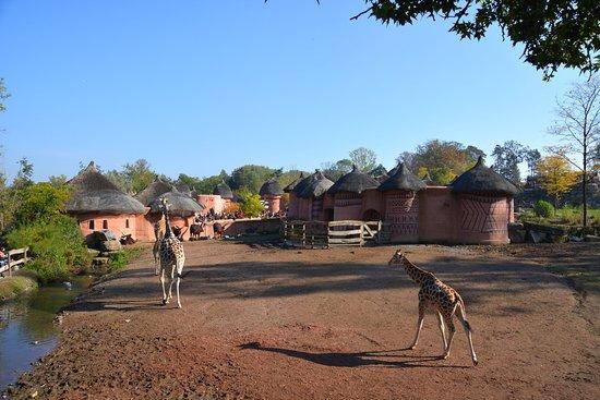 Brugelette, Belgia: Giraffes surrounding